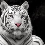 Tygrys~zabójca